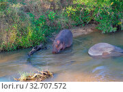 Hippo in the river Kruger national Park South Africa.jpg. Стоковое фото, фотограф Zoonar.com/Matthieu Gallett / easy Fotostock / Фотобанк Лори