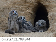 Купить «Eurasian Eagle Owls ( Bubo bubo ), grown up chicks sitting together at their nesting site, curious, funny, wildlife, Europe.», фото № 32708844, снято 7 июня 2017 г. (c) age Fotostock / Фотобанк Лори