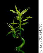 Bamboo on white background close-up. Стоковое фото, фотограф Ласточкин Евгений / Фотобанк Лори
