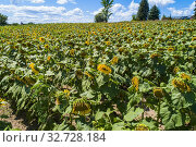 Купить «Sunflower farm in Traverse City Michigan.», фото № 32728184, снято 10 августа 2019 г. (c) age Fotostock / Фотобанк Лори