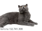 Beautiful gray cat close-up on a white background. Стоковое фото, фотограф Ласточкин Евгений / Фотобанк Лори