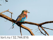 Lilac-breasted roller perched on thorny acacia branch. Стоковое фото, фотограф Zoonar.com/nwd / easy Fotostock / Фотобанк Лори