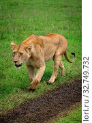 Lioness walks on grass beside muddy track. Стоковое фото, фотограф Zoonar.com/nwd / easy Fotostock / Фотобанк Лори