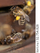 Купить «Berlin, Germany, honey bee with pollen in front of the entrance hole of a beehive», фото № 32754828, снято 4 апреля 2018 г. (c) Caro Photoagency / Фотобанк Лори