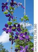 Цветущий фиолетовый  клематис (лат. Clemаtis) на фоне голубого неба. Стоковое фото, фотограф Елена Коромыслова / Фотобанк Лори