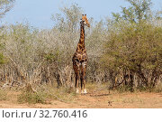 A giraffe in the Kruger National Park South Africa. Стоковое фото, фотограф Zoonar.com/Matthieu Gallett / easy Fotostock / Фотобанк Лори