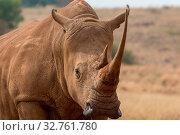White Rhino South Africa. Стоковое фото, фотограф Zoonar.com/Matthieu Gallett / easy Fotostock / Фотобанк Лори