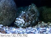 Купить «Японская мохнатоголовая собачка Chirolophis japonicus морская рыба», фото № 32770792, снято 10 декабря 2019 г. (c) Татьяна Белова / Фотобанк Лори