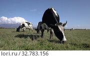 Купить «Black and white cows pasturing in farm field, eat green grass on background blue sky in sunny day. Farmland landscape», видеоролик № 32783156, снято 19 сентября 2019 г. (c) А. А. Пирагис / Фотобанк Лори
