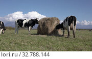 Купить «Two black and white dairy cows eat hay from haystack on agricultural field on farm. Farmland landscape on sunny weather», видеоролик № 32788144, снято 19 сентября 2019 г. (c) А. А. Пирагис / Фотобанк Лори