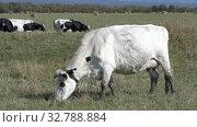White dairy cow grazing, eats green grass on agricultural field on farm (2019 год). Редакционное видео, видеограф А. А. Пирагис / Фотобанк Лори