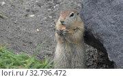 Купить «Expression Arctic ground squirrel eating cracker holding food in paws», видеоролик № 32796472, снято 26 октября 2019 г. (c) А. А. Пирагис / Фотобанк Лори
