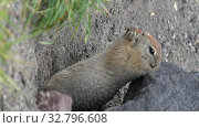 Купить «Cute Arctic Ground Squirrel eating cracker holding food in paws. Vertical video», видеоролик № 32796608, снято 26 октября 2019 г. (c) А. А. Пирагис / Фотобанк Лори
