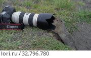 Купить «Arctic ground squirrel eating nuts, posing in front of camera», видеоролик № 32796780, снято 30 августа 2019 г. (c) А. А. Пирагис / Фотобанк Лори