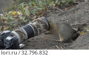 Купить «Curious Arctic ground squirrel eating nuts, posing in front of camera», видеоролик № 32796832, снято 26 октября 2019 г. (c) А. А. Пирагис / Фотобанк Лори