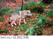 Wolf at bavarian forest national park germany. Стоковое фото, фотограф Zoonar.com/matthieu gallet / easy Fotostock / Фотобанк Лори