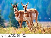 Pronghorn antelope Yellowstone. Стоковое фото, фотограф Zoonar.com/matthieu gallet / easy Fotostock / Фотобанк Лори