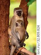 Baby vervet monkey with mother in tree. Стоковое фото, фотограф Zoonar.com/nwd / easy Fotostock / Фотобанк Лори