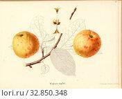 Wagner apple, Swiss apple variety, Signed: color print by J. Tribelhorn, Fig. 47, Tribelhorn, J. (imp.), 1863, Schweizerisch. Landwirtschaftl. Verein ... Редакционное фото, фотограф ARTOKOLORO QUINT LOX LIMITED / age Fotostock / Фотобанк Лори
