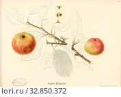 Sauer- Kläusler, Swiss apple variety, Signed: Color print by J. Tribelhorn, Fig. 36, Tribelhorn, J. (imp.), 1863, Schweizerisch. Landwirtschaftl. Verein... Редакционное фото, фотограф ARTOKOLORO QUINT LOX LIMITED / age Fotostock / Фотобанк Лори