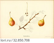 Sugar pear, Swiss pear variety, Signed: Farbendruck v., J. Tribelhorn, Fig. 49, Tribelhorn, J. (imp.), 1863, Schweizerisch. Landwirtschaftl. Verein (Hg... Редакционное фото, фотограф ARTOKOLORO QUINT LOX LIMITED / age Fotostock / Фотобанк Лори