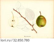 Water pear, Swiss pear variety, Signed: Farbendruck v., J. Tribelhorn, Fig. 41, Tribelhorn, J. (imp.), 1863, Schweizerisch. Landwirtschaftl. Verein (Hg... Редакционное фото, фотограф ARTOKOLORO QUINT LOX LIMITED / age Fotostock / Фотобанк Лори