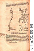 Anblatum, Helianthemum, Illustration of a dandruff and a sun-rose from the 16th century, Fig. 9, p. 89v, 1561, Valerius Cordus, Konrad Gessner, Benedictus... Редакционное фото, фотограф ARTOKOLORO QUINT LOX LIMITED / age Fotostock / Фотобанк Лори