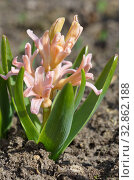 "Розовый гиацинт сорта ""Джипси Куин"" (лат. Hyacinthus Gypsy Queen) Стоковое фото, фотограф Елена Коромыслова / Фотобанк Лори"