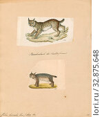 Felis borealis, Print, Felis is a genus of small and medium-sized cat Felinae species native to most of Africa and south of 60° latitude in Europe and... (2019 год). Редакционное фото, фотограф ARTOKOLORO QUINT LOX LIMITED / age Fotostock / Фотобанк Лори