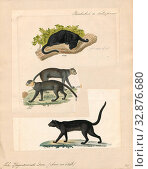 Felis yaguarundi, Print, Felis is a genus of small and medium-sized cat Felinae species native to most of Africa and south of 60° latitude in Europe and... (2019 год). Редакционное фото, фотограф ARTOKOLORO QUINT LOX LIMITED / age Fotostock / Фотобанк Лори