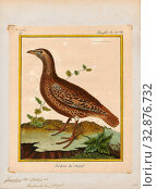 Francolinus bicalcaratus, Print, The double-spurred francolin (Pternistis bicalcaratus) is a gamebird in the pheasant family Phasianidae of the order Galliformes, gallinaceous birds., 1700-1880 (2019 год). Редакционное фото, фотограф ARTOKOLORO QUINT LOX LIMITED / age Fotostock / Фотобанк Лори
