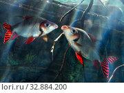 Две рыбки Семапрохилодус тэниурус, или Семапрохилодус серебристый (Semaprochilodus taeniurus or Silver prochilodus) Стоковое фото, фотограф Татьяна Белова / Фотобанк Лори