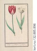 Купить «Tulip (Tulipa), Tulip. / Tulipa. / Tulipe. (title on object), red and white and a white tulip. Numbered top right: 51. Part of the first album with drawings...», фото № 32885896, снято 30 мая 2020 г. (c) age Fotostock / Фотобанк Лори