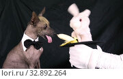 Toy Bunny sitting in a magician's hat feeding a banana to a dog (Xoloitzcuintle breed) on black background. Стоковое видео, видеограф Алексей Кузнецов / Фотобанк Лори