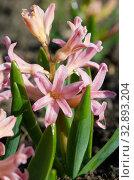 """Розовый гиацинт сорта """"Джипси Куин"""" (лат. Hyacinthus Gypsy Queen) крупным планом. Стоковое фото, фотограф Елена Коромыслова / Фотобанк Лори"""