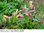 Розовые гиацинты расцветают в весеннем саду. Стоковое фото, фотограф Елена Коромыслова / Фотобанк Лори