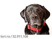 Labrador vor weißem Hintergrund. Стоковое фото, фотограф Zoonar.com/Helma Spona / age Fotostock / Фотобанк Лори