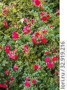 Floral background, climbing roses. Стоковое фото, фотограф Юлия Бабкина / Фотобанк Лори