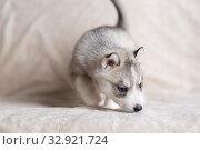 Купить «Husky puppies, two months old», фото № 32921724, снято 13 июля 2019 г. (c) Типляшина Евгения / Фотобанк Лори