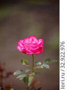 Купить «Розовая роза, сорт Bella Rosa», фото № 32922976, снято 12 июля 2018 г. (c) Юлия Бабкина / Фотобанк Лори