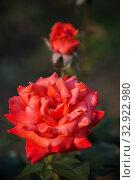 Купить «Роза сорта Коралловый сюрприз», фото № 32922980, снято 12 июля 2018 г. (c) Юлия Бабкина / Фотобанк Лори