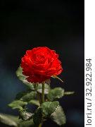 Красная роза сорта Сандра. Стоковое фото, фотограф Юлия Бабкина / Фотобанк Лори
