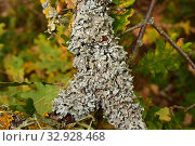 Купить «Parmelina quercina or Parmelia quercina is a foliose lichen that grows on tree bark (Quercus pyrenaica in this picture). This photo was taken in Prades Mountains, Tarragona province, Catalonia, Spain.», фото № 32928468, снято 31 октября 2019 г. (c) age Fotostock / Фотобанк Лори