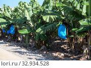 Banana plantation is in Tenerife island, green trees under sun, fruits grow in clusters hanging from the top of the plant. Стоковое фото, фотограф Кекяляйнен Андрей / Фотобанк Лори