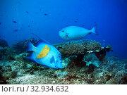 Коралловый риф с тропическими рыбками - Рыба-ангел Аравийская  и рыба-хирург Носорог Вламинга. Стоковое фото, фотограф Татьяна Белова / Фотобанк Лори
