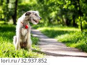 Купить «Irish Wolfhound portrait», фото № 32937852, снято 19 мая 2019 г. (c) Сергей Лаврентьев / Фотобанк Лори