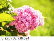 Купить «Розовая гортензия», фото № 32938324, снято 12 июля 2018 г. (c) Юлия Бабкина / Фотобанк Лори