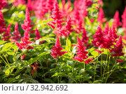 Купить «Bright red astilbe», фото № 32942692, снято 12 июля 2018 г. (c) Юлия Бабкина / Фотобанк Лори
