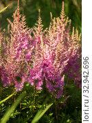 Купить «Flowers of astilbe», фото № 32942696, снято 12 июля 2018 г. (c) Юлия Бабкина / Фотобанк Лори