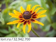 Купить «One flower of rudbeckia», фото № 32942700, снято 12 июля 2018 г. (c) Юлия Бабкина / Фотобанк Лори